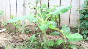 Manojo verde cada vez mayor de plátanos en la plantación (acuminata de Musa) metrajes