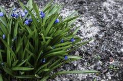 Manojo verde con las flores azules Fotos de archivo libres de regalías