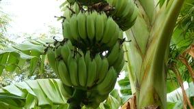 Manojo verde grande de plátanos inmaduros en la opinión de palmera de debajo metrajes