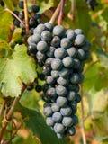 manojo y hojas de los di Módena, Italia del lambrusco del racimo de la uva fotografía de archivo libre de regalías