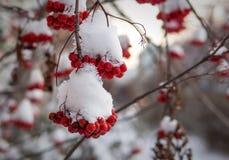 Manojos de bayas de serbal cubiertas por la nieve Imágenes de archivo libres de regalías