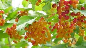 Manojos de bayas rojas del opulus del viburnum en una rama almacen de video