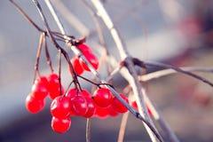 Manojos de bayas rojas del viburnum en la caída Imagenes de archivo