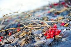 Manojos de bayas rojas del viburnum en la caída Fotografía de archivo