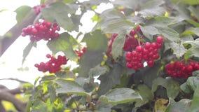 Manojos de bayas rojas del viburnum en una rama metrajes