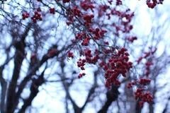 Manojos de bayas rojas en un árbol Foto de archivo libre de regalías