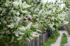 Manojos de cereza de pájaro siberiana blanca Fotografía de archivo