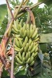 Manojos de crecimiento verde de los plátanos Fotografía de archivo