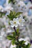 Manojos de flor de cereza Fotos de archivo libres de regalías