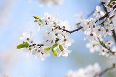 Manojos de flor de cerezo Imagen de archivo libre de regalías