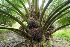 Manojos de frutas de la palma de aceite Fotos de archivo libres de regalías