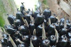 Manojos de la fruta de aceite de palma de la opinión del primer en los árboles del aceite de palma Imagen de archivo