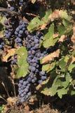 Manojos de la uva Imagen de archivo libre de regalías