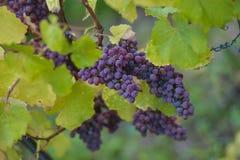 Manojos de la uva de Gewurztraminer, Alsacia, tiempo del vendange, Francia Foto de archivo