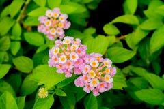 3 manojos de Lantana púrpura del rosa en colores pastel en un jardín - con agua cae Imagenes de archivo