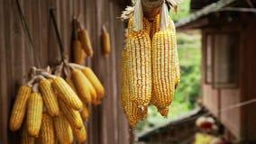 Manojos de maíz seco almacen de video