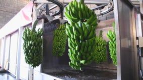 Manojos de plátano que cuelgan en una lavadora en industria del acondicionamiento de los alimentos metrajes