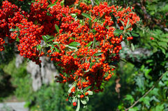 Manojos de serbal rojo en el sol imagen de archivo libre de regalías