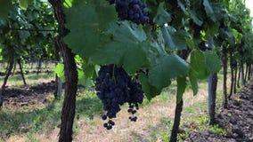 Manojos de uva madura de la vid en fila en el viñedo metrajes