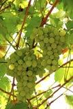 Manojos de uvas Imagen de archivo