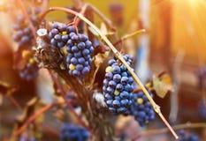 Manojos de uvas azules Foto de archivo libre de regalías