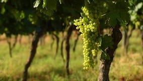 Manojos de uvas blancas en un viñedo de Chianti en un día soleado Toscana almacen de video