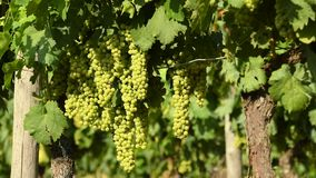 Manojos de uvas blancas en un viñedo de Chianti en un día soleado Toscana almacen de metraje de vídeo