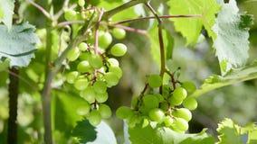 Manojos de uvas blancas que son movidas por el viento metrajes