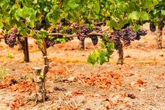 Manojos de uvas de vino que crecen en viñedo Fotos de archivo libres de regalías