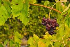 Manojos de uvas de vino que crecen en viñedo Imágenes de archivo libres de regalías