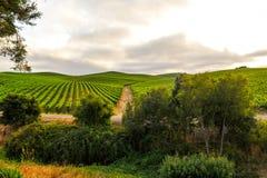 Manojos de uvas de vino que crecen en viñedo Foto de archivo libre de regalías