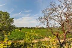 Manojos de uvas de vino que crecen en viñedo Foto de archivo