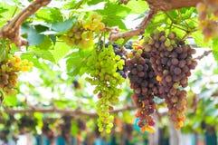 Manojos de uvas de vino que cuelgan en la vid con las hojas verdes Imagen de archivo libre de regalías