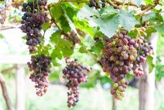 Manojos de uvas de vino que cuelgan en la vid con las hojas verdes Fotos de archivo libres de regalías