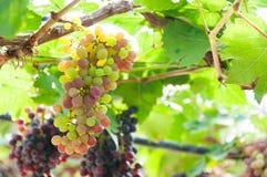 Manojos de uvas de vino que cuelgan en la vid con las hojas verdes Foto de archivo libre de regalías