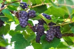 Manojos de uvas de vino rojo que crecen en otoño Fotos de archivo