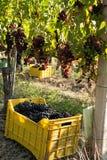 Manojos de uvas en cajón Imágenes de archivo libres de regalías