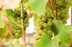 Manojos de uvas en el valle eslovaco de Tokaj Fotos de archivo