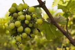 Manojos de uvas en la vid Imagen de archivo libre de regalías