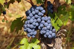 Manojos de uvas grandes en los arbustos iluminados con el sol meridional lleno Uvas de maduración fotos de archivo