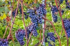 Manojos de uvas maduras Imagen de archivo libre de regalías