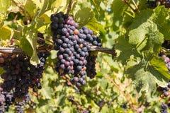 Manojos de uvas maduras del merlot en el tiempo de cosecha en viñedo imágenes de archivo libres de regalías