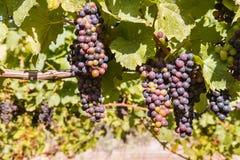 Manojos de uvas maduras del Merlot en vid en viñedo foto de archivo libre de regalías