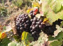 Manojos de uvas maduras en viñedo Imágenes de archivo libres de regalías