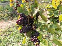 Manojos de uvas maduras en viñedo Imagen de archivo libre de regalías