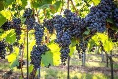 Manojos de uvas maduras sabrosas imagenes de archivo