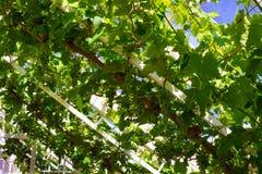 Manojos de uvas que se maduran en la acción de la vid Foto de archivo libre de regalías