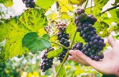 Manojos de uvas rojas foto de archivo libre de regalías