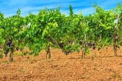 Manojos de uvas rojas en la vid con las hojas verdes Fotos de archivo libres de regalías