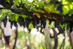Manojos de uvas de Tinta Negra Mole en pérgola en Estreito de Camara de Lobos en Madeira imagen de archivo libre de regalías